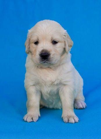 щенок золотистого ретривера продается
