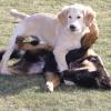 фото щенок голден ретривера