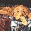 Почему щенок лабрадора или... - последнее сообщение от Krasilnikova  Marina