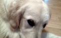 продам щенков золотистого ретривера.Санкт-Петербург