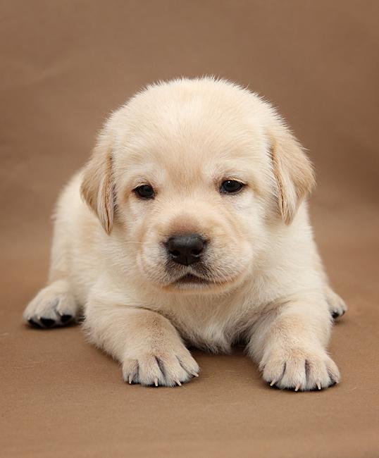 картинки лабрадоров щенков